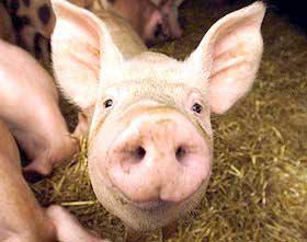 猪不能仰头望天空