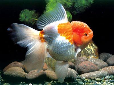 世上最老的金鱼是41岁,名叫Fred