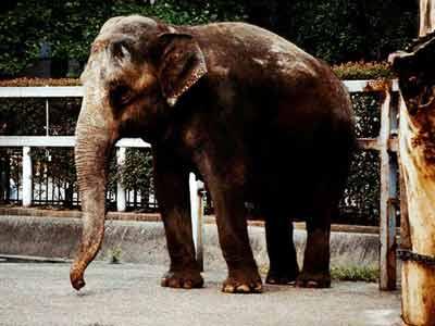 大象死后还会保持站立姿势