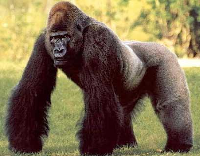 一只银背大猩猩从笼子里跑出来了