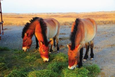 普氏野马是国家一级保护野生动物,也是世界上唯一幸存的野高清图片
