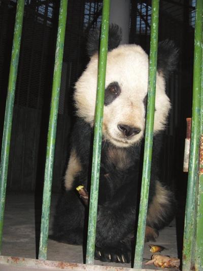 """2010年,兰州市动物园大熊猫""""兰宝""""因体弱多病,被送到西安疗养."""