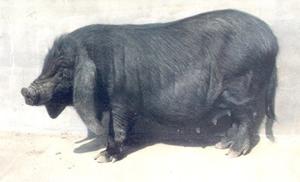 金昌特产—八眉猪