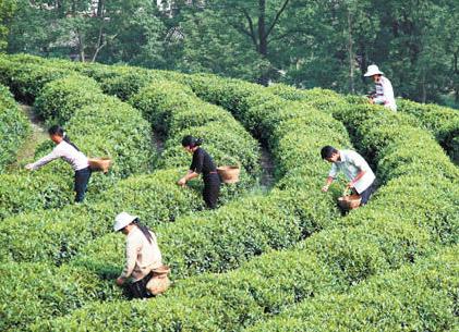 陇南文县碧口镇的村民在采茶