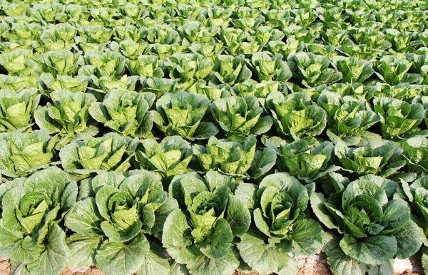 甘肃兰州特产榆中大白菜