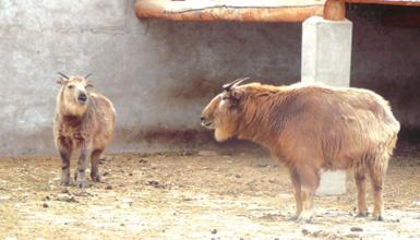 """赛加羚羊家族越来越""""庞大"""""""