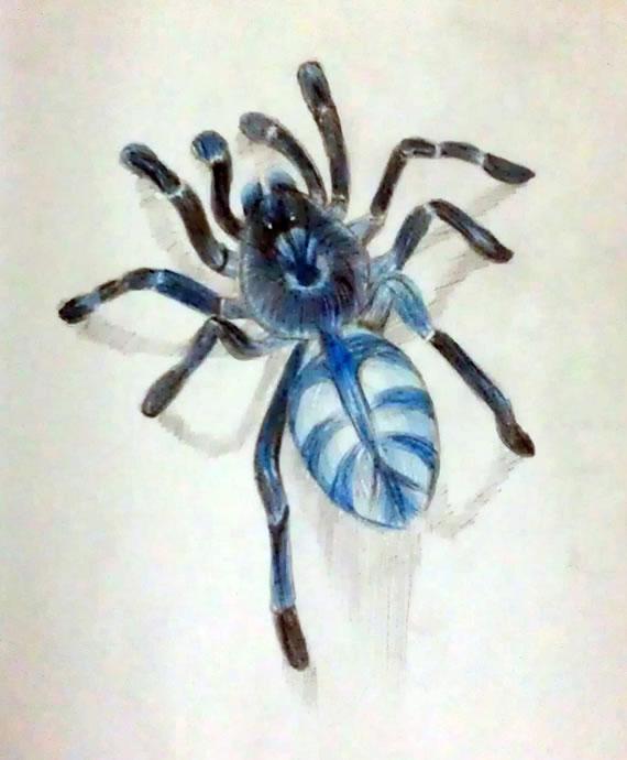 捕鸟陷阱大全带图-那些年,我画过的捕鸟蛛图片