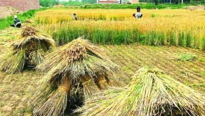 临夏永靖县川塬区农民开镰收割小麦
