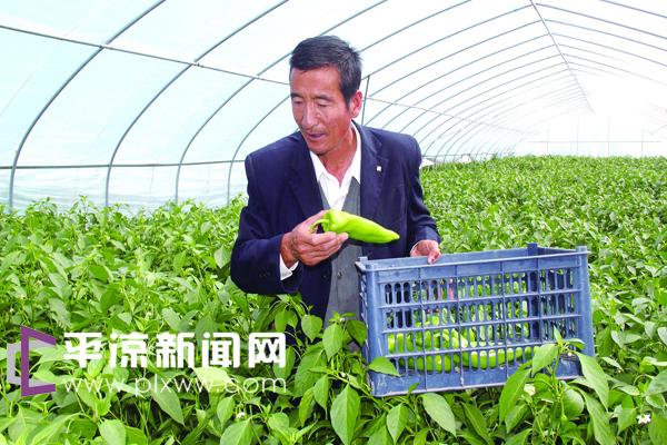 中国甘肃网7月31日讯 据平凉日报报道(孔晓明)静宁县曹务乡立足当地发展蔬菜产业独特的立地条件,近年来大力发展高效农业,在川区水肥条件相对较好的张屲、店子两村建成蔬菜大棚170座,种植的高新品种蔬菜质优价廉,销路遍布周边市县,成为当地农民致富增收的主要途径。图为店子村菜农赵世昌正在采摘大棚辣椒。