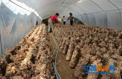 截至目前,两当县共栽培袋料食用菌520.2万袋,其中香菇403.