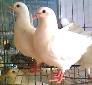 六个可能引起产鸽停止产蛋的原因?