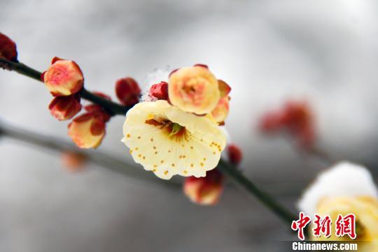 情人节前夕 南京梅花山情人梅盛放静待有情人(组图)