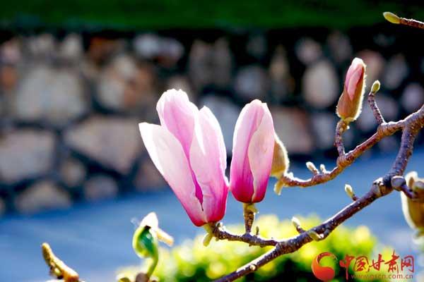 红色木莲别有一番风味李程霞/摄于大理栖谷温泉