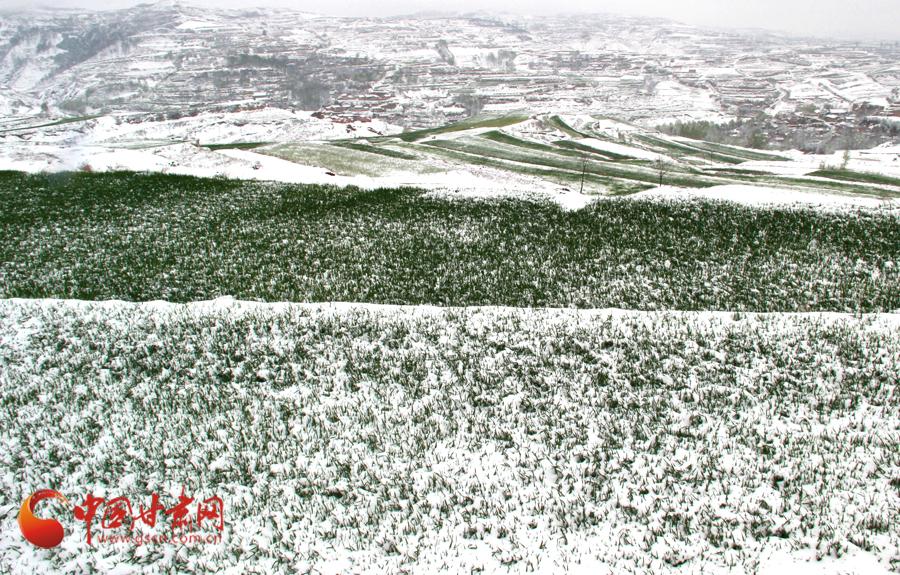 马小龙/24日晚/25日上午8时,厚厚的雪覆盖了正在生长的农作物。通讯员...