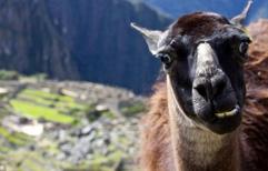 全球最佳动物自拍照出炉 说茄子的美洲驼登顶