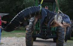 捕获近千斤巨鳄