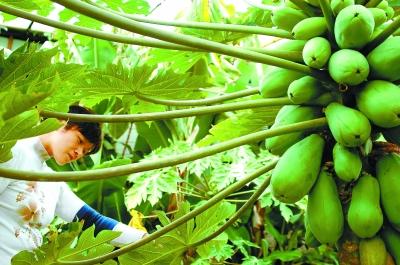 张掖农民试种木瓜获得成功