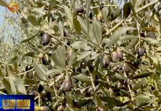 陇南橄榄油产量产值居全国第一