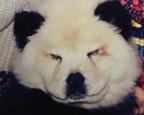 马戏团将两只松狮犬涂成黑白两色扮熊猫骗钱