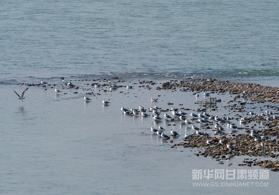 段成/1月3日,水鸟在黄河兰州段岸边嬉戏。新华社记者范培珅摄