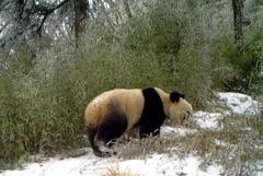 """""""国宝""""大熊猫现身甘肃陇南 雪中觅食憨态可掬"""