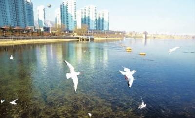 候鸟在临夏永靖黄河三峡浅滩嬉戏