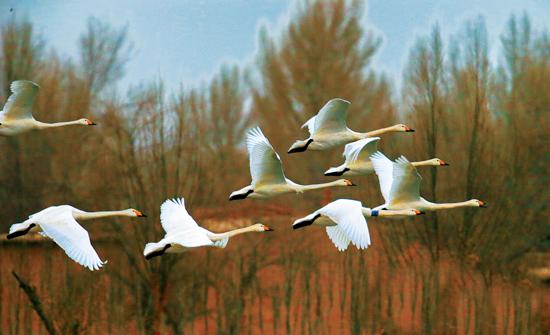 黑河湿地 天鹅悠然宁静的美丽家园
