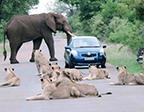 """女司机遭大象狮群两面夹攻 最终成功""""突围"""""""
