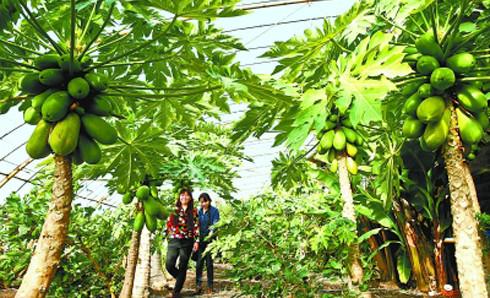 游客在张掖市南方水果大棚内观光