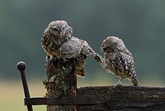 """英国小猫头鹰""""求抱抱""""温馨照片走红"""