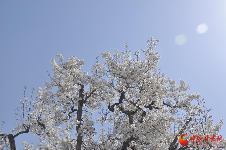 """黄河岸边什川梨园里""""千树万树梨花开"""",好一派春意盎然的景象,一抹蓝天"""