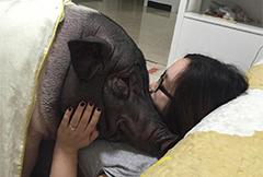 北京女子晒170斤宠物猪