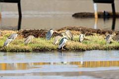 甘肃尕海国际重要湿地再添鸟类新记录 涉禽种类增至54种