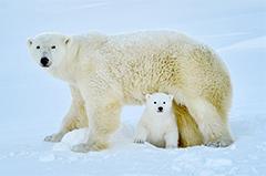 摄影师拍北极熊幼崽首次下海捕鱼