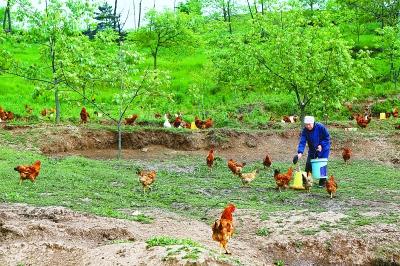 平凉华亭县大力发展林下养殖业