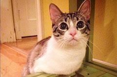 猫坚强天生无前肢仅用后肢如兔子般跳跃