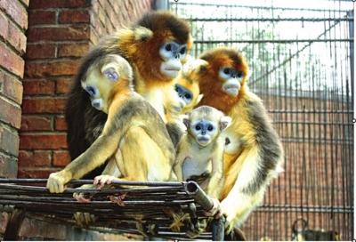 甘肃濒危动物保护中心再添川金丝猴家族新成员