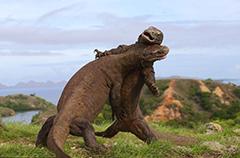 科莫多巨蜥搏斗