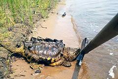 """俄河畔现大鳄龟被称""""乌龟中的恐龙"""""""