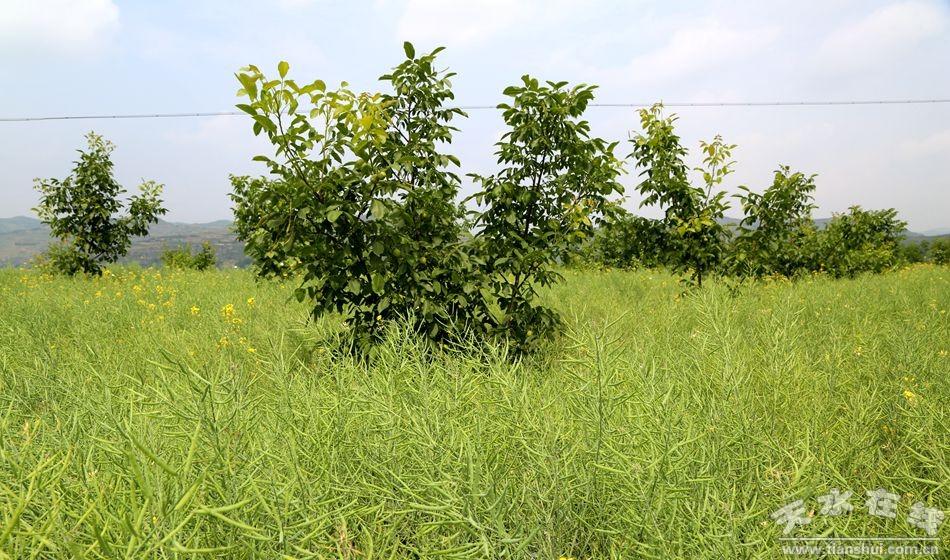 精品核桃园套种农作物迎来大丰收 组图