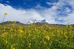 西藏:油菜花香深山里