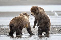 美国两棕熊为晚餐打斗场面激烈