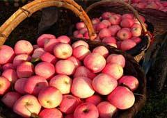 庆阳宁县27.2万亩苹果园助农增收8.5亿元