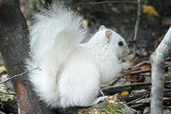 白色松鼠基因突变