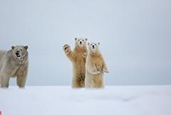 """北极熊向摄影师镜头""""挥手""""瞬间"""