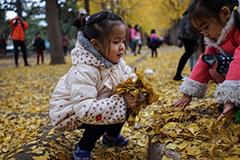 北京钓鱼台银杏林吸引市民拍照游玩