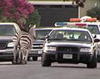 """马戏团两斑马出逃街头狂奔被""""拘留"""""""