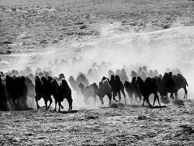 甘肃省武威骆驼养殖有效促进生态治理