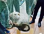 """温州医科大学校内抓到10斤重""""巨鼠"""""""