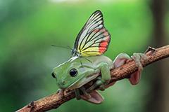 蝴蝶停留树蛙头上休憩似其另类头发